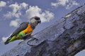 Male african orange bellied parrot also known as the red poicephalus rufiventris this is found in the dry areas of kenya normally Royalty Free Stock Images