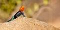 A Male Agama Lizard
