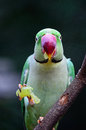 Male alexandrine parakeet green bird a psittacula eupatria eating some grape on a branch Stock Image