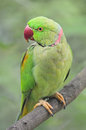 Male alexandrine parakeet green a psittacula eupatria standing on a branch Stock Photo