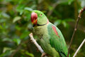 Male Alexandrine Parakeet (Psittacula eupatria) Stock Photo