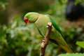 Male alexandrine parakeet psittacula eupatria beautiful in thai forest Royalty Free Stock Photos