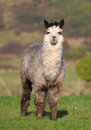 Male Alpaca in a field Stock Photo