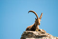 Male alpine ibex Royalty Free Stock Image