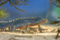 Male Alpine Newt in a pool Royalty Free Stock Photo