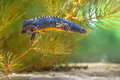 Male Alpine Newt swimming under water Royalty Free Stock Photo