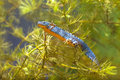 Male Alpine Newt Swimming through Vegetation Royalty Free Stock Photo