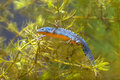 Male Alpine Newt Swimming through Water Vegetation Royalty Free Stock Photo