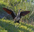 Male American Anhinga Royalty Free Stock Images