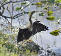 Male American Anhinga (Anhinga anhinga) Royalty Free Stock Photography