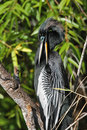 Male American Anhinga Preening its Feathers Royalty Free Stock Photos