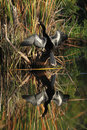 Male American Anhinga and Reflection in Water Royalty Free Stock Photo