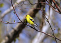 Male american goldfinch perched in the tree Royalty Free Stock Images