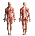 Male anatomy view front and back Stock Photography