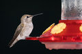 Male Anna`s Hummingbird.