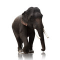 Male Asian elephants isolated on white background Royalty Free Stock Photo