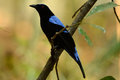 Male Asian Fairy Bluebird (Irena puella) Stock Photo