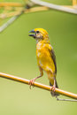 Male asian golden weaver ploceus hypoxanthus on the branch Royalty Free Stock Photography