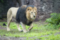 Male asiatic lion coming to you Stock Photos