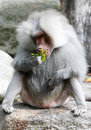Male Baboon Stock Images