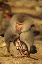 Male baboon with little baby monkey Stock Photography