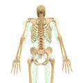 Male back view lymphatic system with skeleton anatomy d illustration of the Royalty Free Stock Images