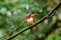 Male banded kingfisher beautiful lacedo pulchella in thai forest Royalty Free Stock Photography