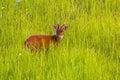Male barking deer muntjacs or mastreani deer turn to see us in nature at khaoyai national park thailand Stock Images
