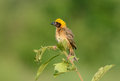Male baya weaver the agressive beautiful in thailand Stock Photography
