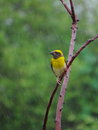 Male baya weaver bird in breeding plumage enjoying is and captured during slow rain Royalty Free Stock Image
