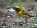 Male baya weaver bird in breeding plumage during show very bright and attracting yellow colors Royalty Free Stock Photo