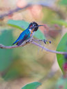 Male Bee Hummingbird on a branch Royalty Free Stock Photo