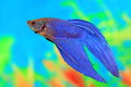 Male of Betta splendens Royalty Free Stock Photo