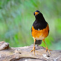 Male black breast thrush colorful bird turdus dissimillis standing on the log profile with a green background Royalty Free Stock Photos