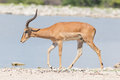 Male black-faced impala (Aepyceros melampus petersi) Royalty Free Stock Photo