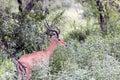 A male black-faced impala antelopes (Aepyceros melampus) Royalty Free Stock Photo