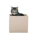 Male black gray tabby occupying cardboard box shot white background Stock Photo