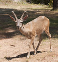 Male Black-tailed deer Royalty Free Stock Images