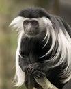 Colobus Monkey Royalty Free Stock Photo