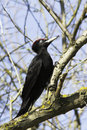 A male of black woodpecker dryocopus martius in natural habitat Royalty Free Stock Photography