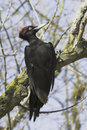 A male of black woodpecker dryocopus martius in natural habitat Stock Photography