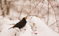 Male blackbird turdus merula feeds item available terrain deep covered snow hips dog rose rosa canina Royalty Free Stock Images