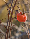 Male blackcap feeds on a kaki fruit eurasian sylvia atricapilla an overripe asian persimmon diospyros or Royalty Free Stock Photography
