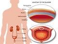 Male bladder