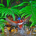Male blue eared kingfisher catching fish alcedo meninting in flight Stock Photos