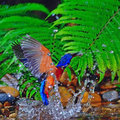 Male blue eared kingfisher swing bird catching fish alcedo meninting in action Stock Images