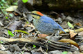 Male blue pitta Royalty Free Stock Photos