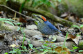 Male blue pitta Royalty Free Stock Photography