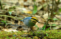 Male blue pitta pitta cyanea beautiful in thai forest Stock Photography
