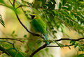 Male blue-winged leafbird Royalty Free Stock Image
